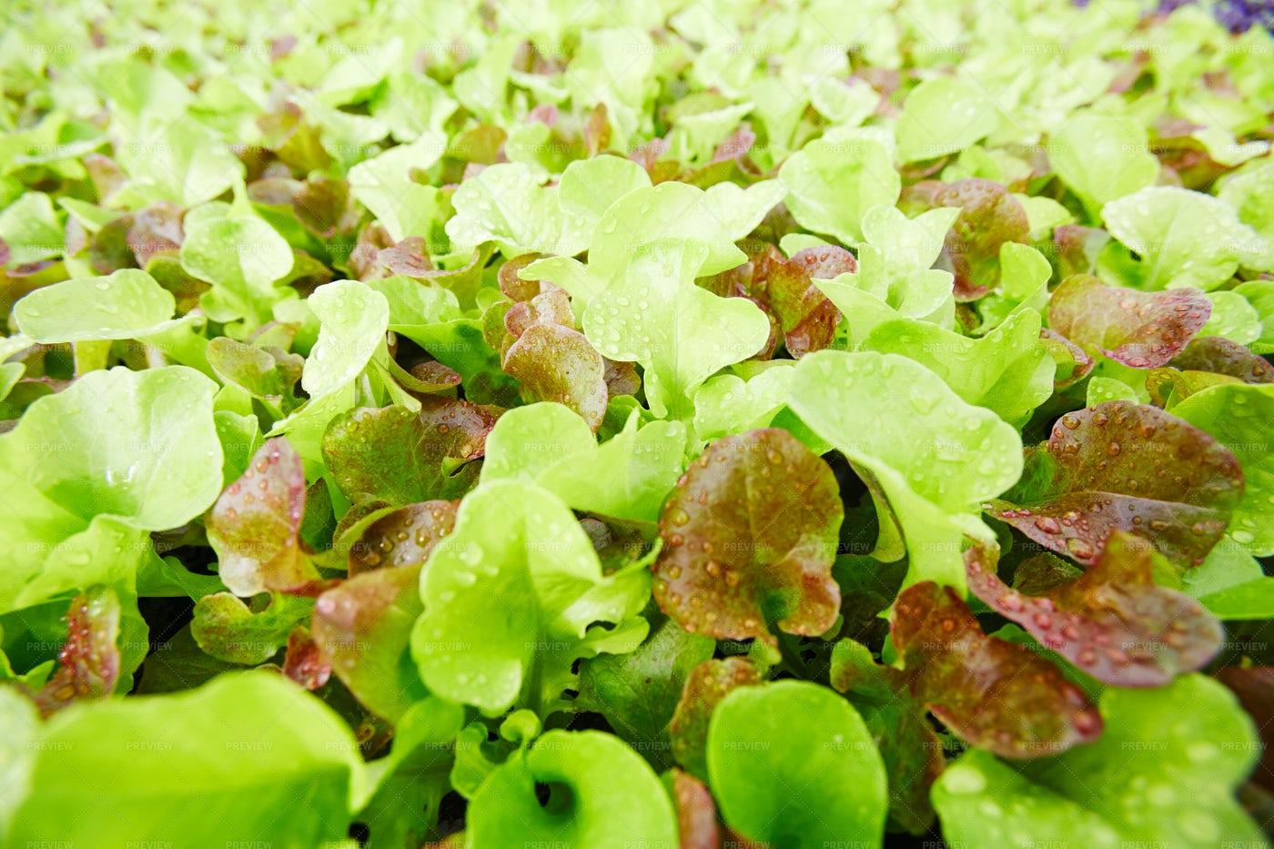 Lettuce Background: Stock Photos