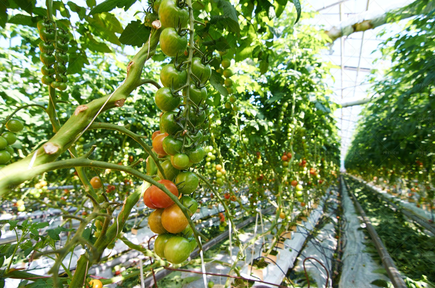 Tomatoes In Hothouse: Stock Photos