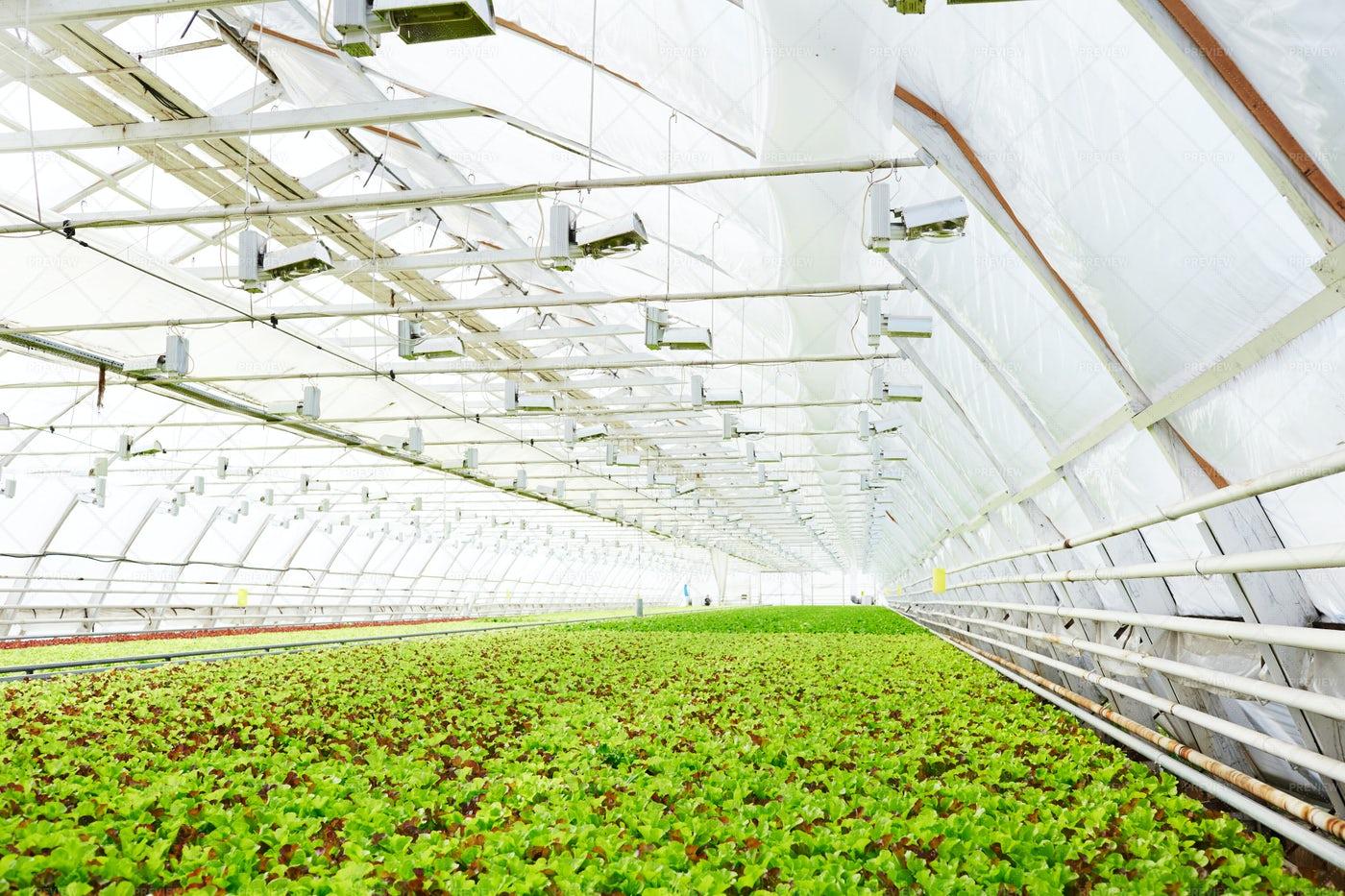 Commercial Lettuce Production: Stock Photos