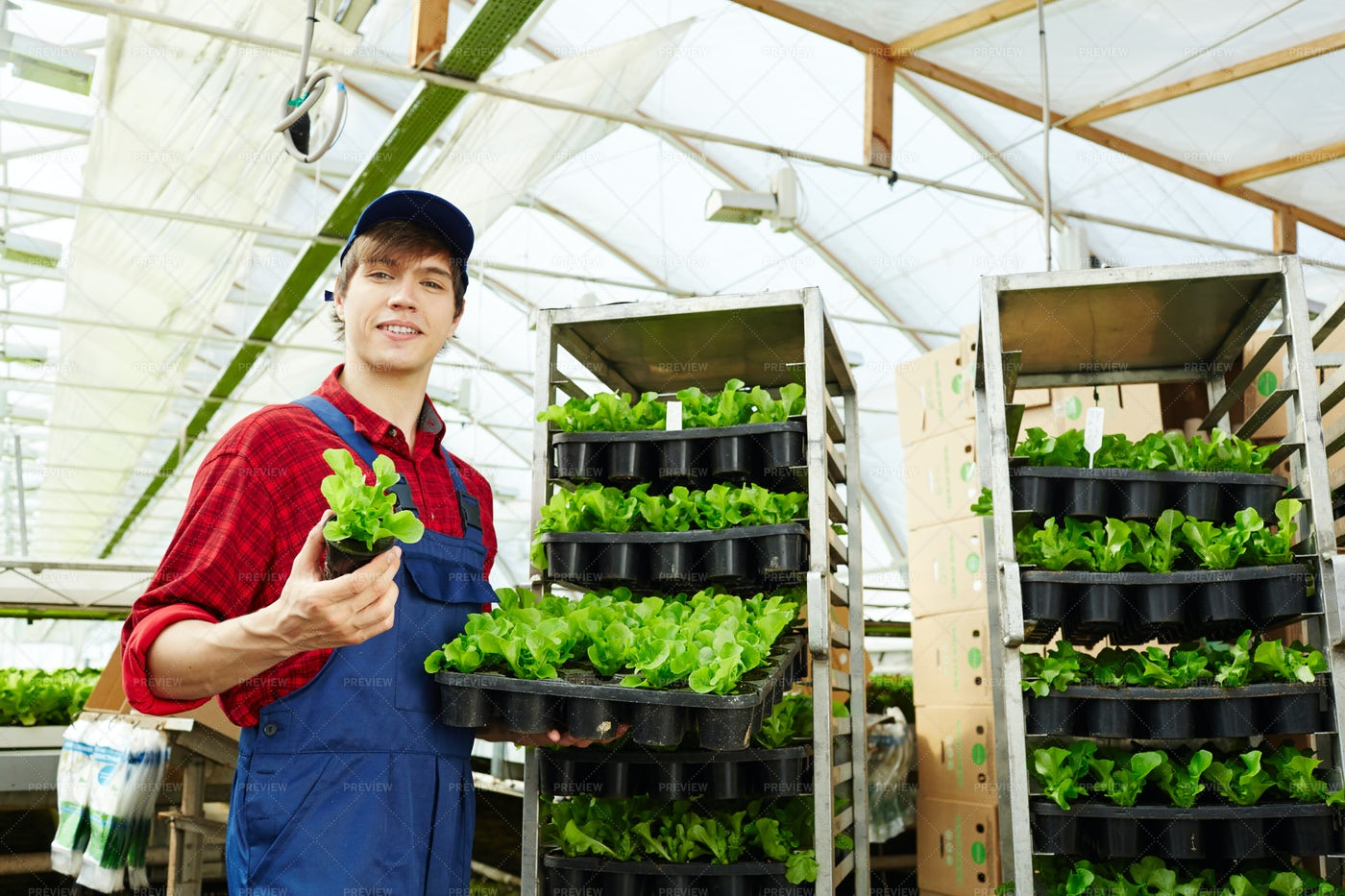 Greenhouse Worker With Fresh Lettuce: Stock Photos