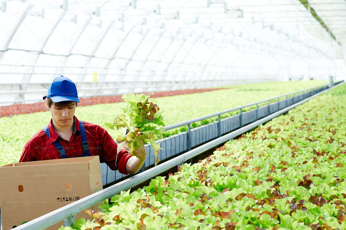 Man Working In Hothouse: Stock Photos