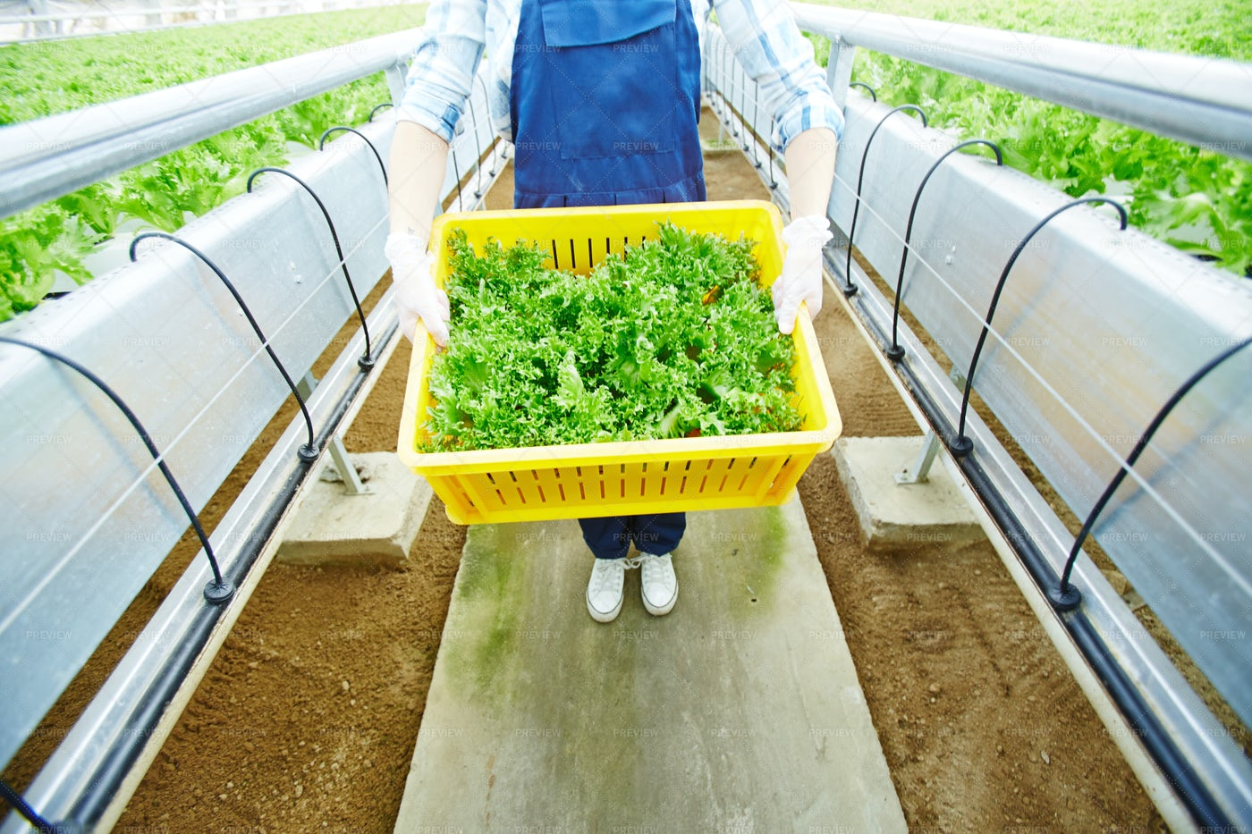 Greenhouse Worker With Crop: Stock Photos