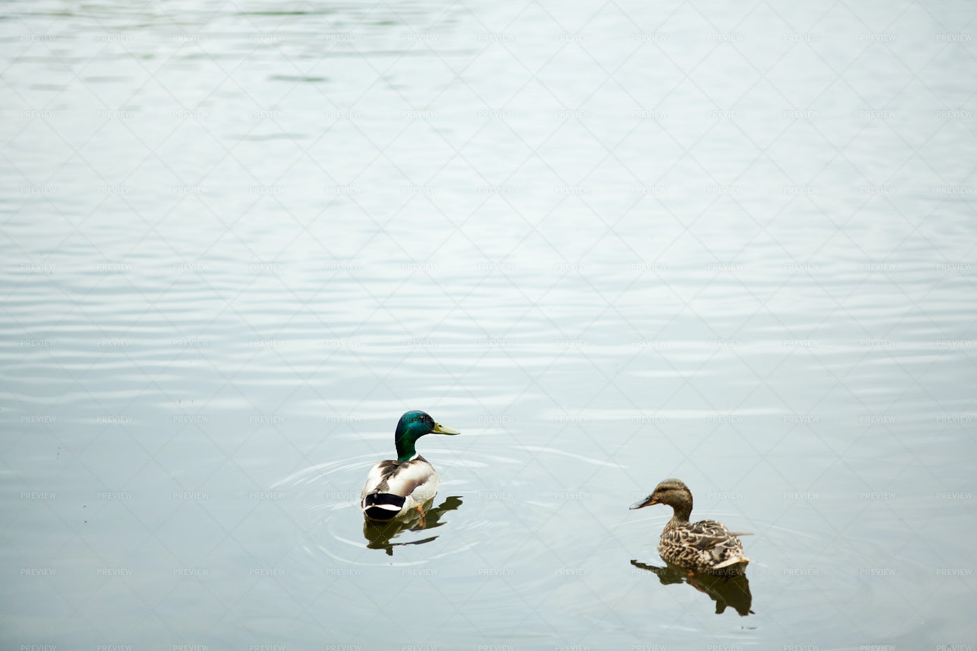 Birds On Water: Stock Photos