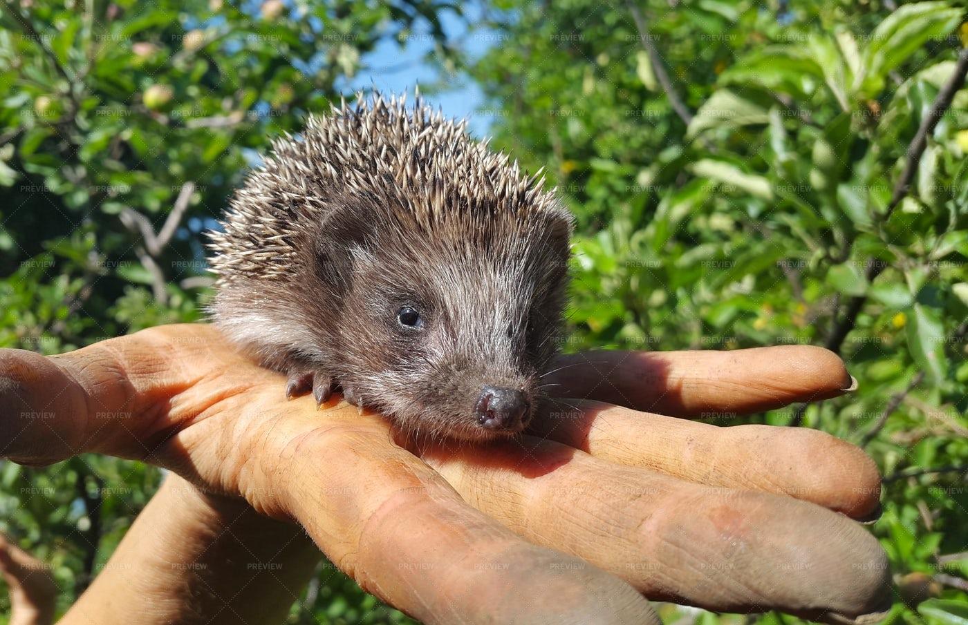 Hedgehog In Hand: Stock Photos