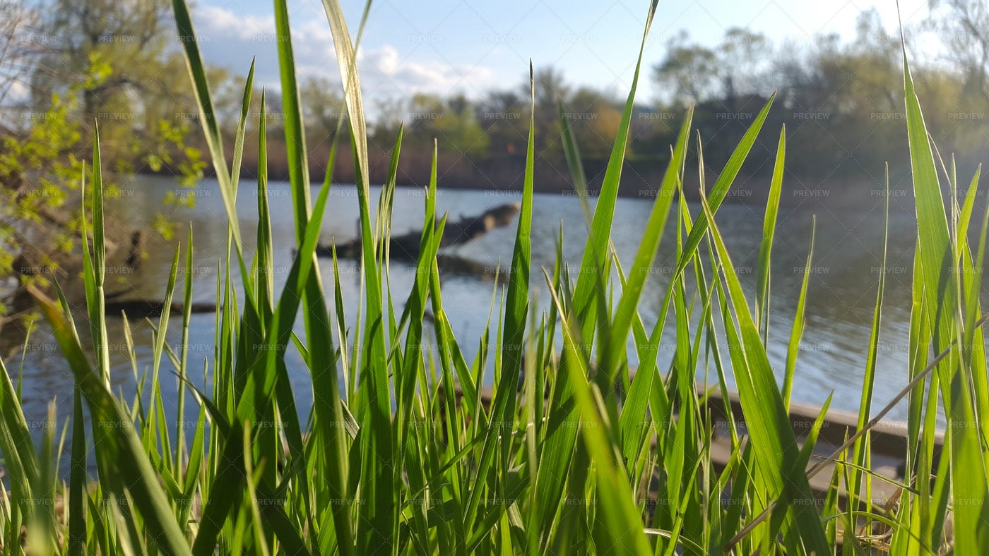 Tall Grass By The Riverside: Stock Photos