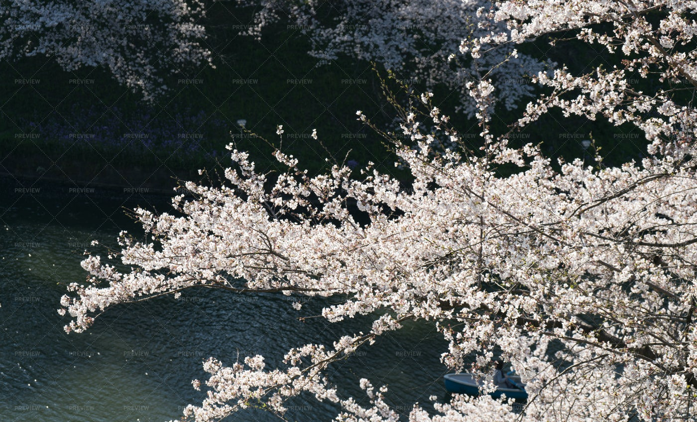 Cherry Blossom Branches: Stock Photos