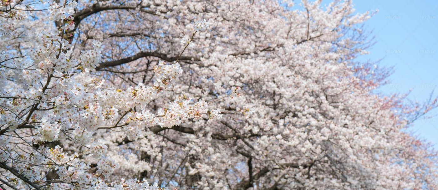 Sakura Tree Blooming: Stock Photos