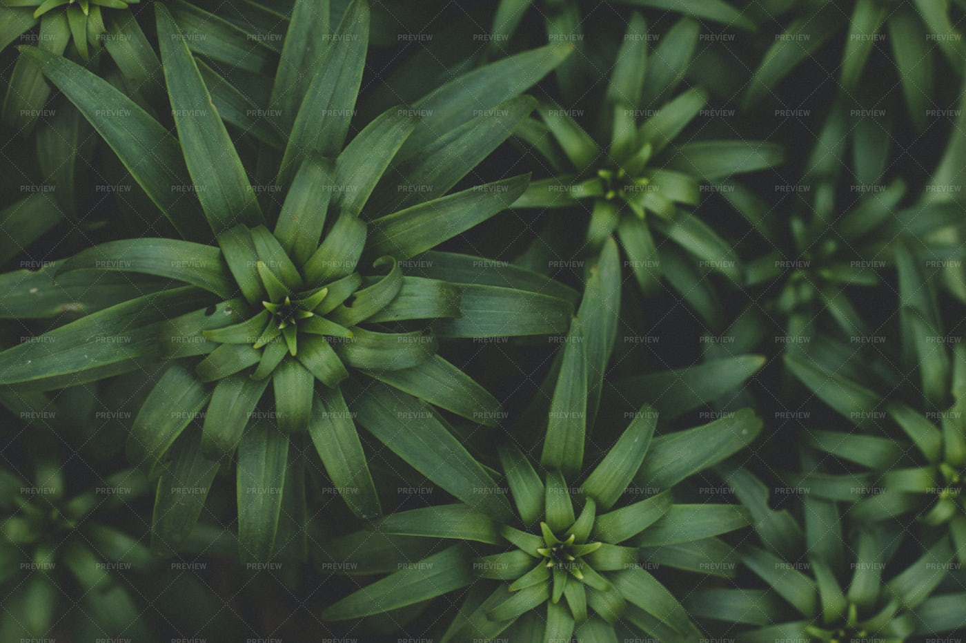 Background Of Fresh Green Lily Leaves: Stock Photos