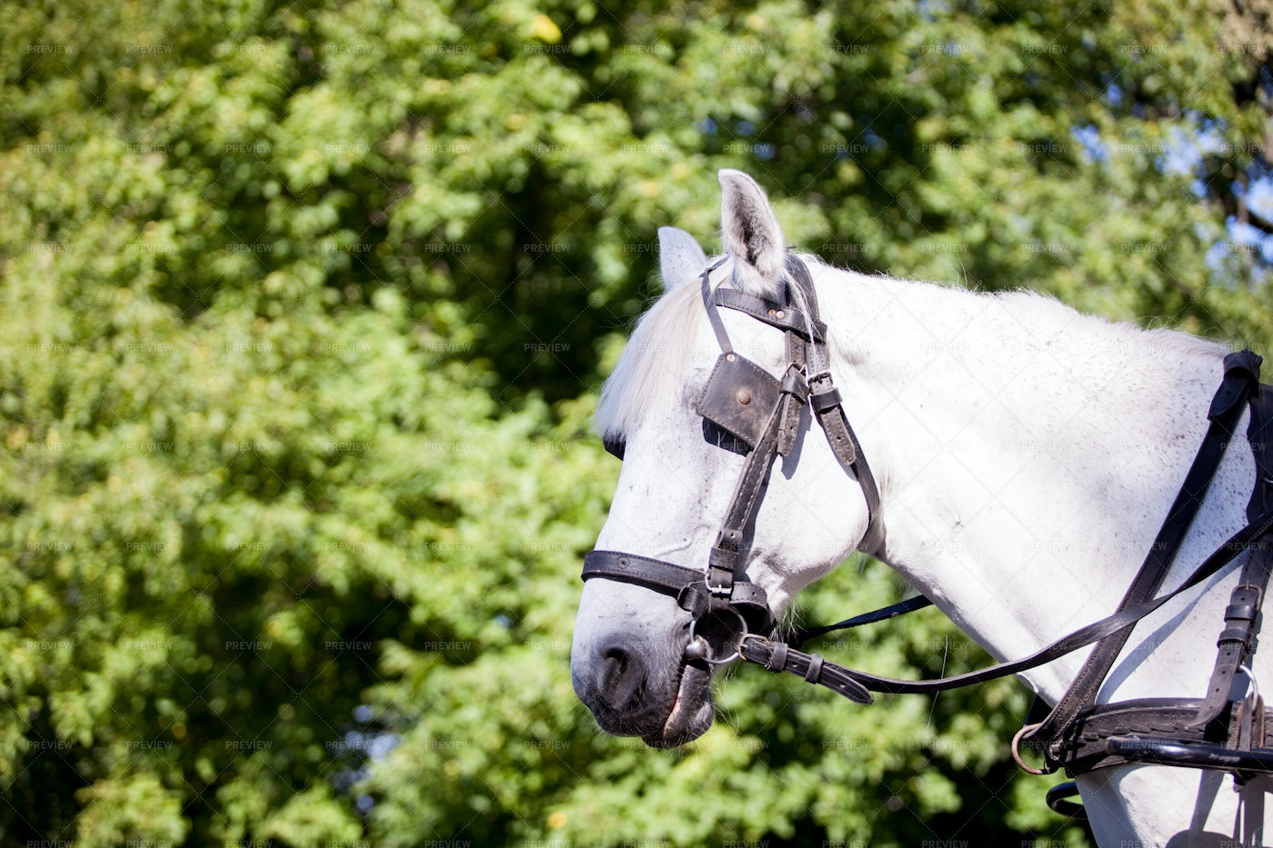 Harnessed Horse: Stock Photos