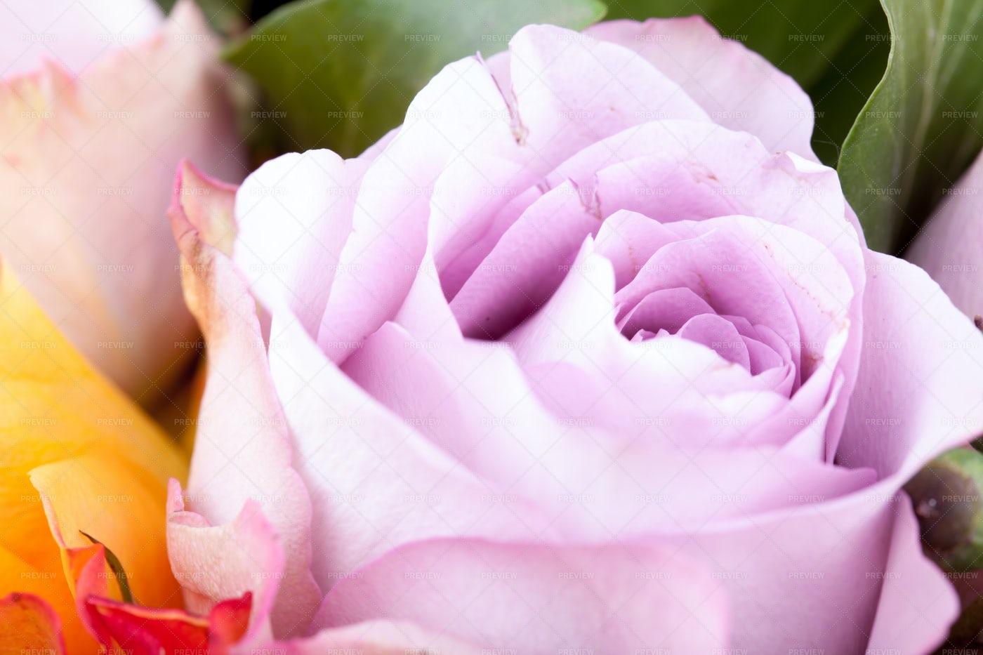 Purple-Pink Rose Flower: Stock Photos