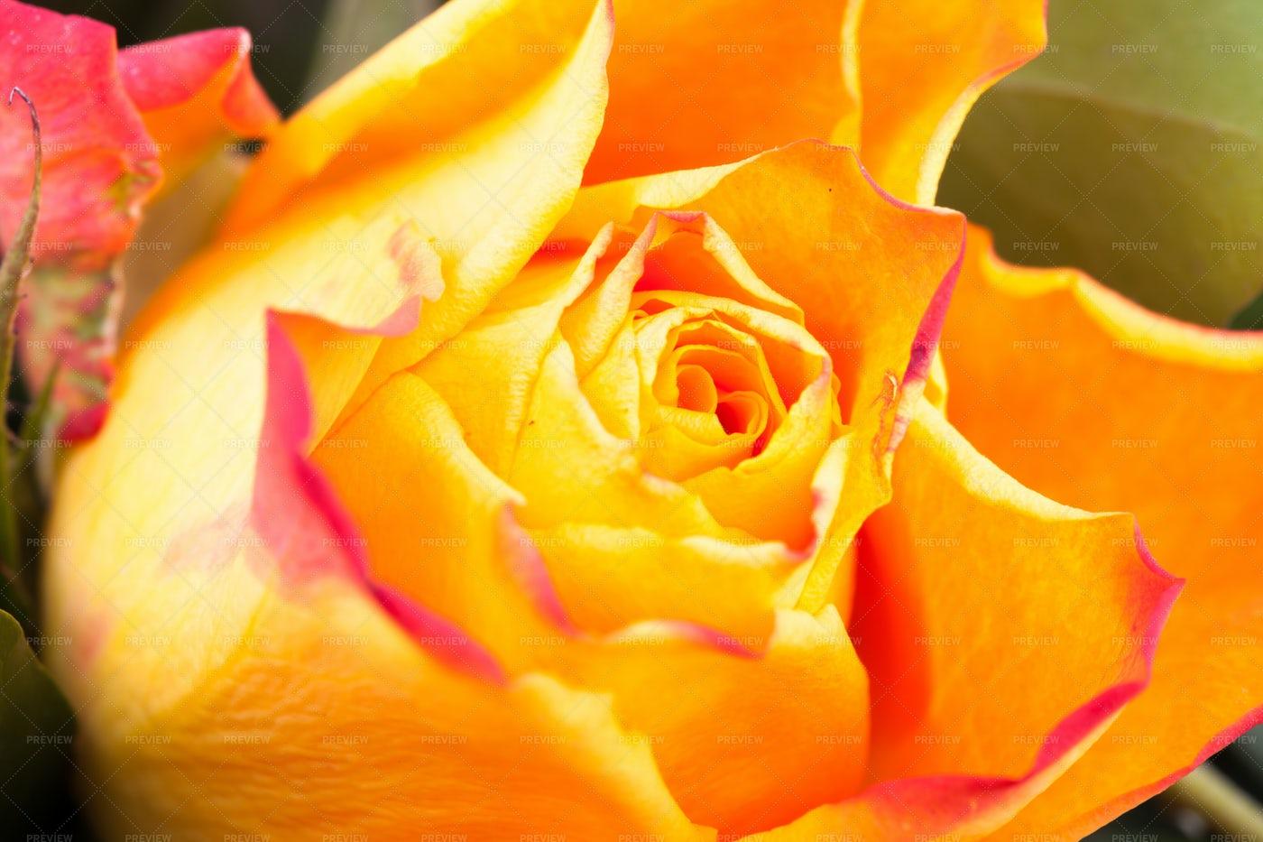 Closeup Of Yellow And Pink Rose: Stock Photos