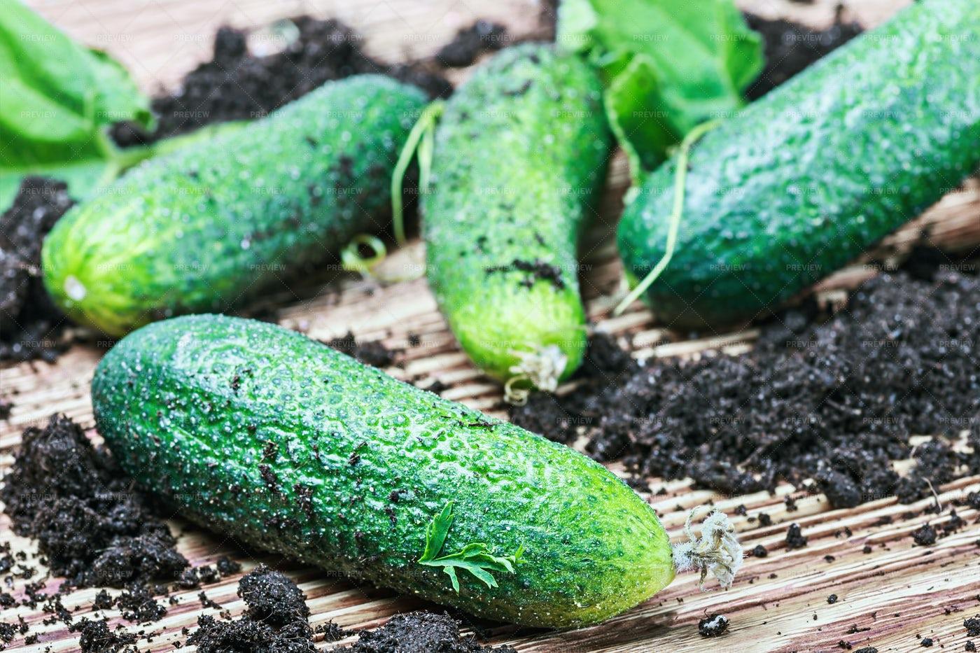 Freshly Picked Cucumbers: Stock Photos
