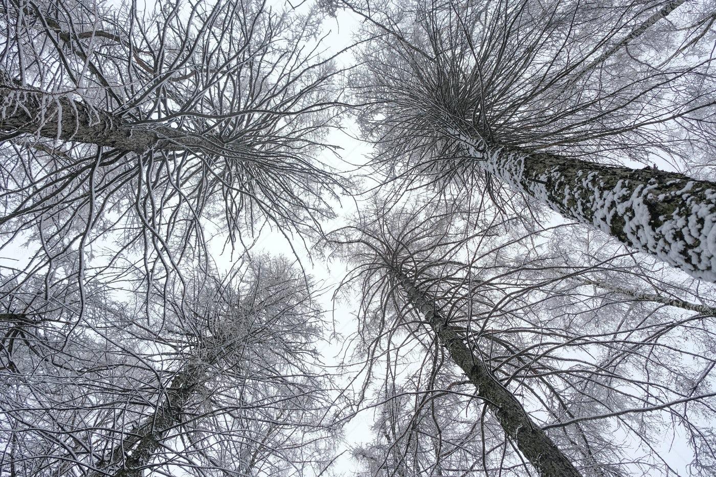 Winter Trees: Stock Photos