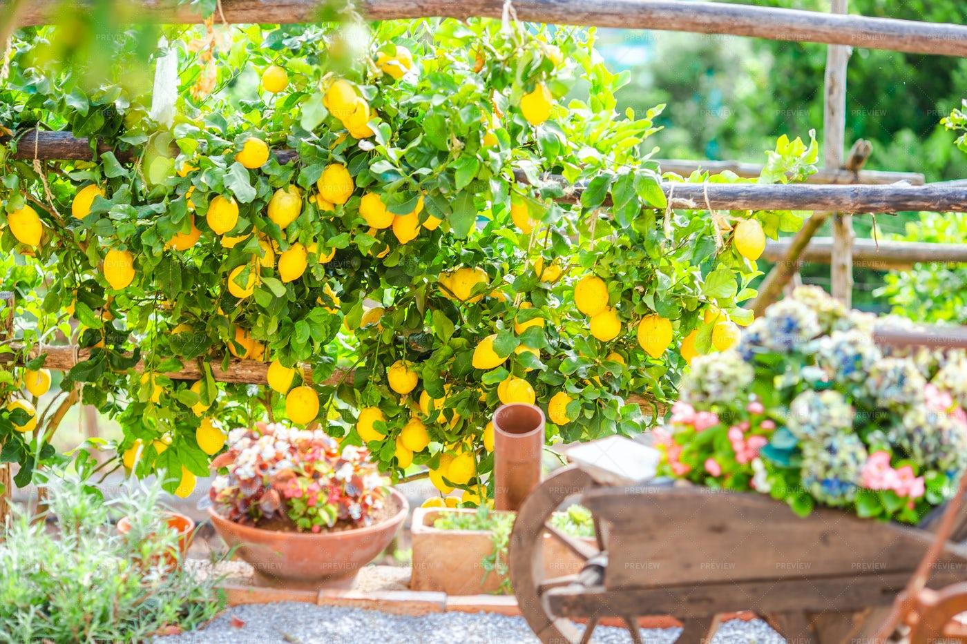 Italian Lemon Garden: Stock Photos