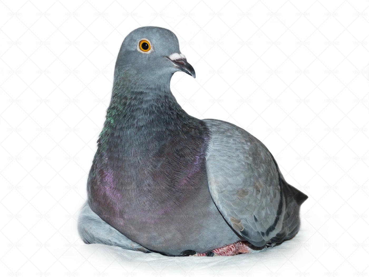 Grey Pigeon: Stock Photos