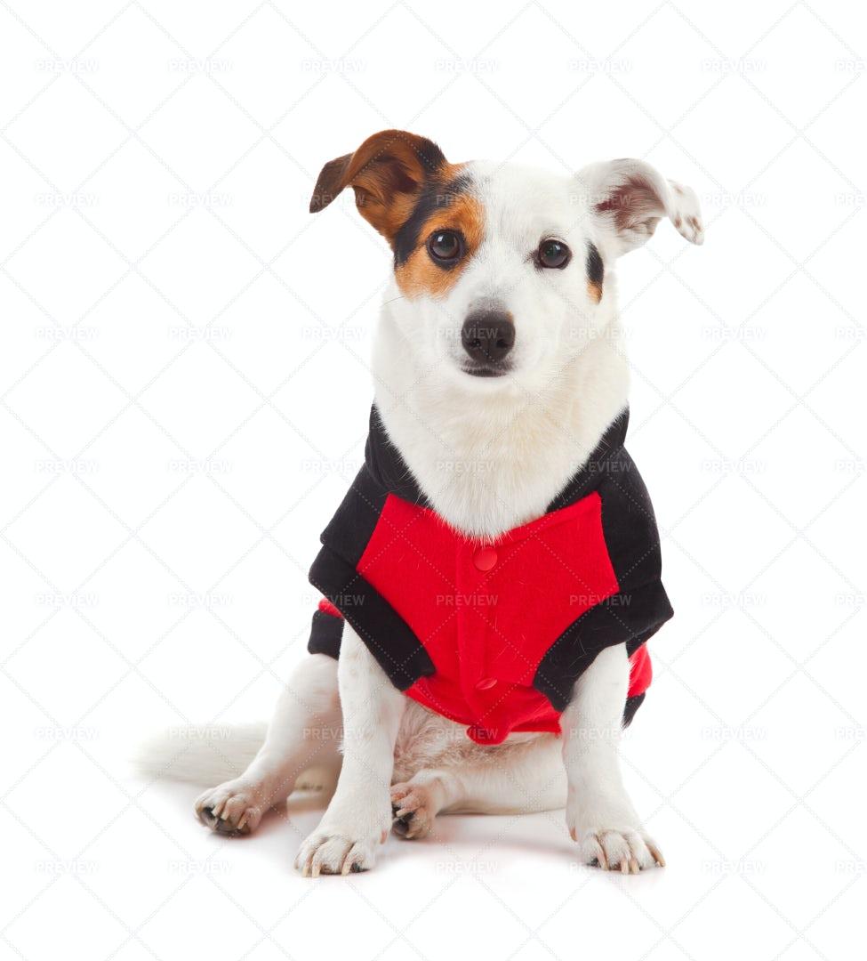 Dog Dressed Up As A Ladybug: Stock Photos