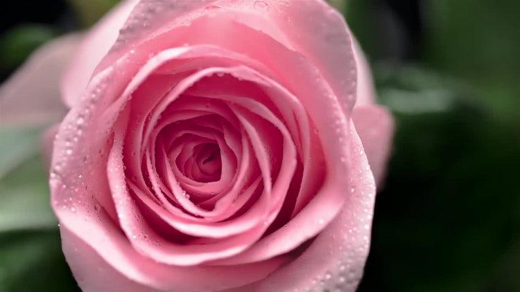 Swirling Rose: Stock Video