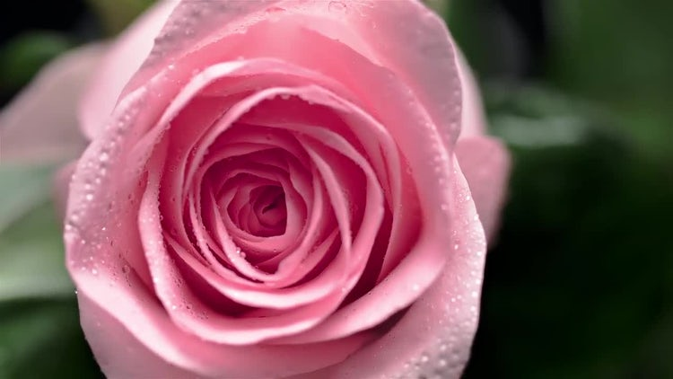 Swirling Rose: Stock Footage