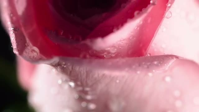 Pink Rose: Stock Video