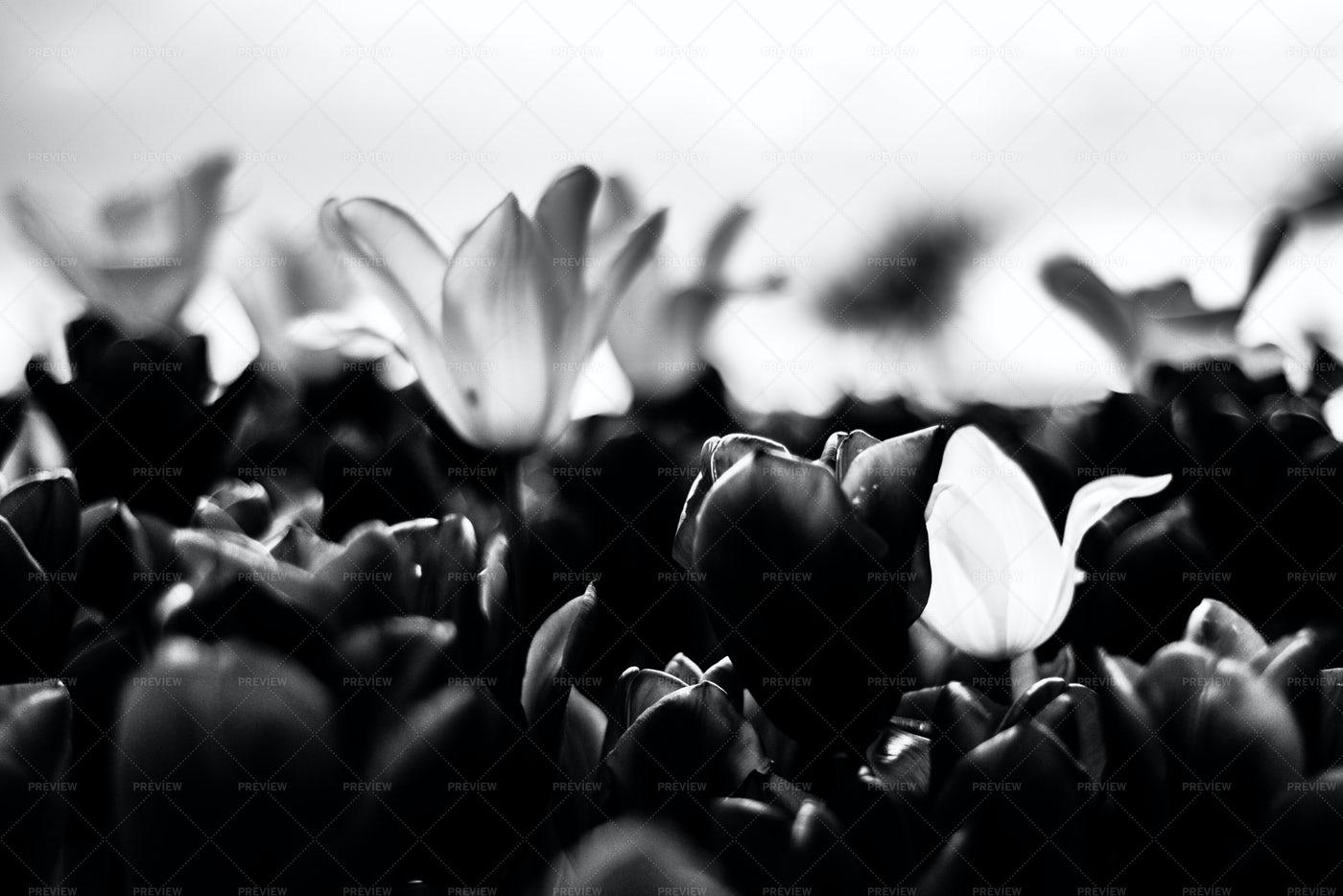 Black Tulip: Stock Photos