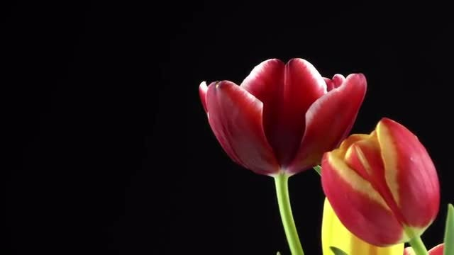Tulips On Black Background 1: Stock Video