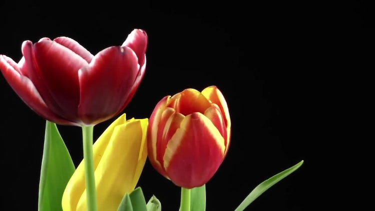 Tulips On Black Background 2: Stock Video
