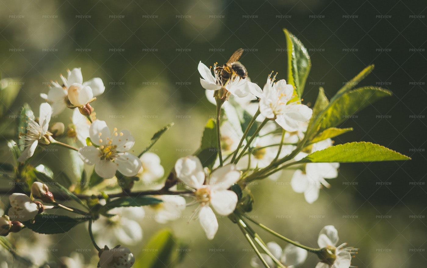 Bee On Cherry Blossom: Stock Photos