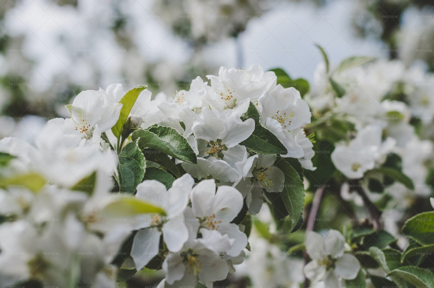 Flowering Apple Tree Close-Up: Stock Photos