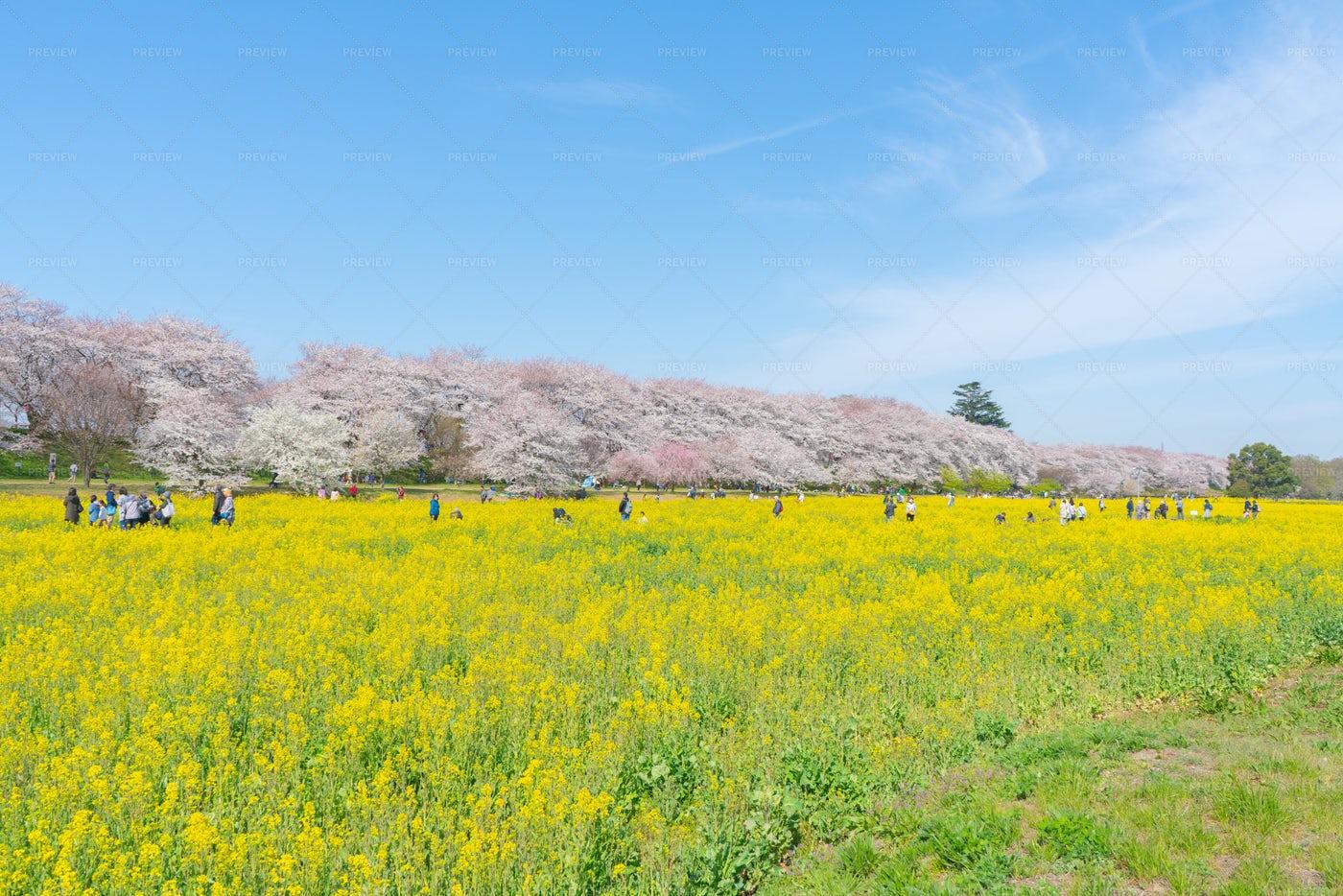 Kumagaya Sakura Tsusumi, Japan: Stock Photos