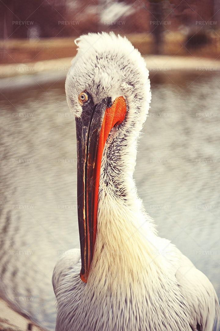 Head Of Great Egret: Stock Photos