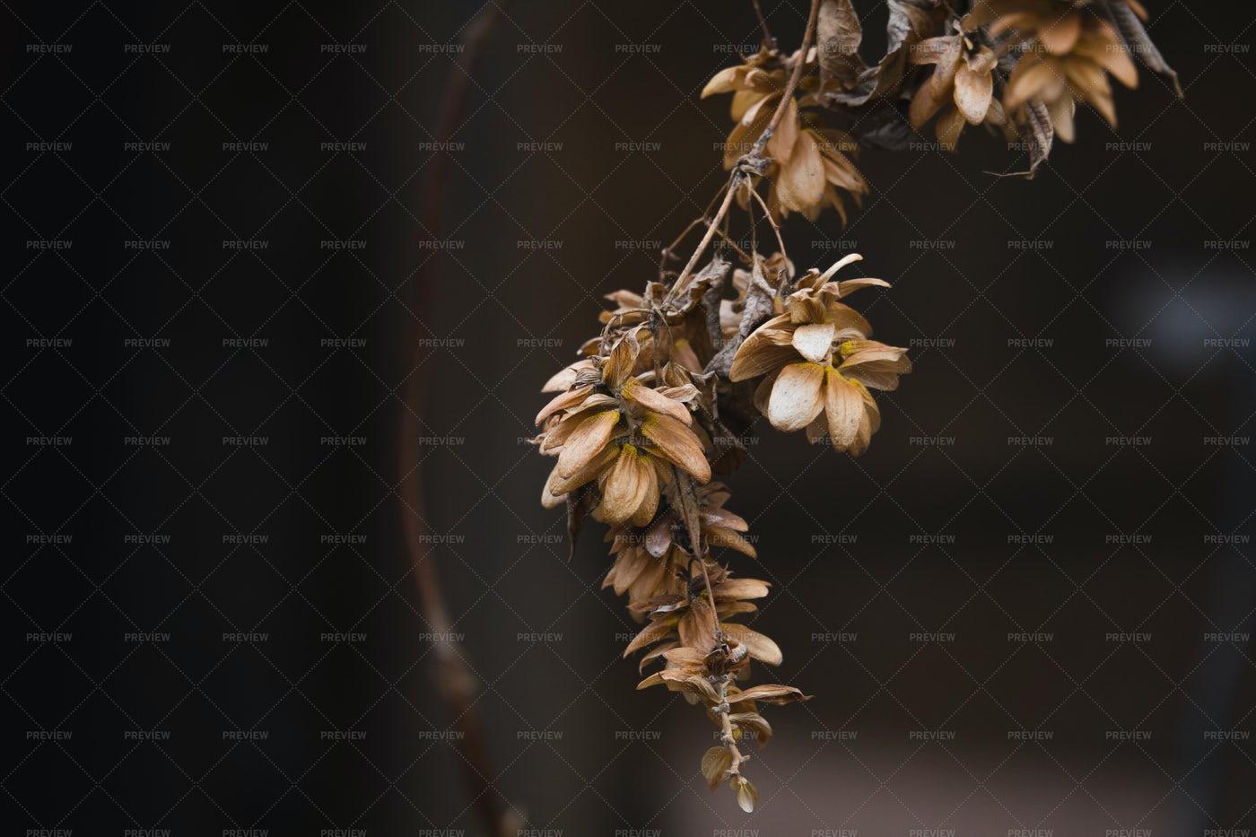 Dry Hop Branch: Stock Photos