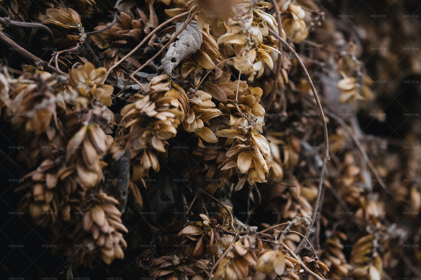 Dry Hop Bushes In Autumn: Stock Photos