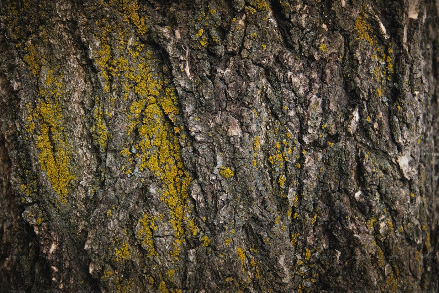 Texture Of Tree Bark With Moss: Stock Photos