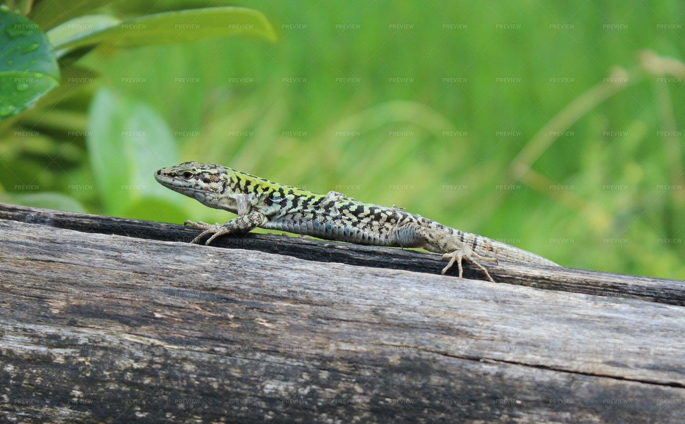 Lizard Is Waiting On A Wood: Stock Photos
