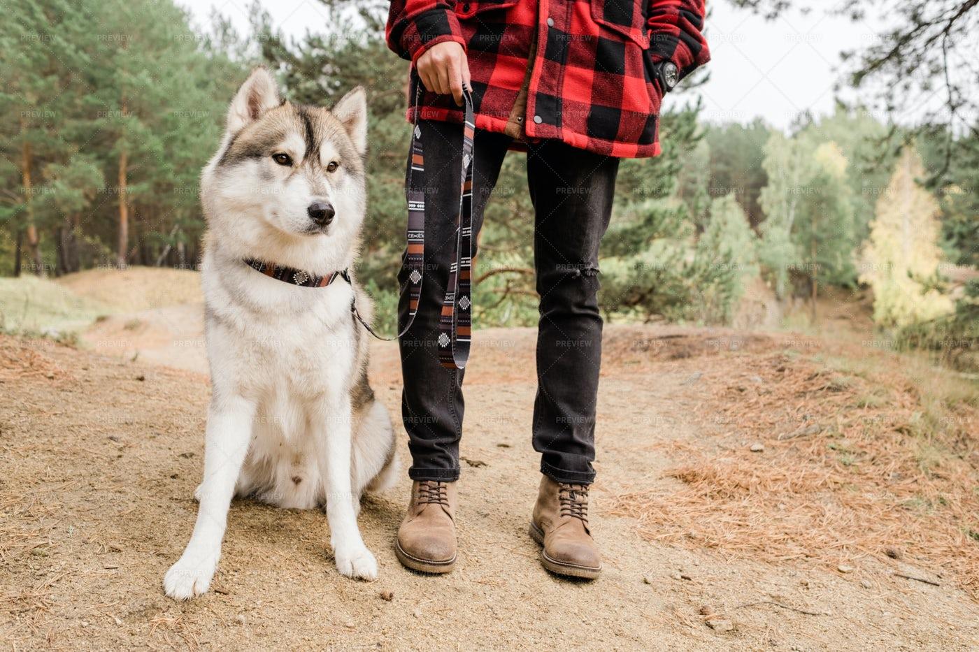 Purebred Husky Dog Sitting On...: Stock Photos