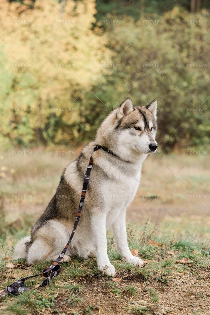 Cute Purebred Husky Dog With...: Stock Photos