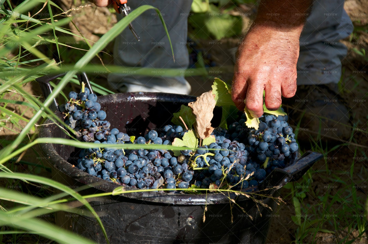 Details Of Grape Harvest: Stock Photos