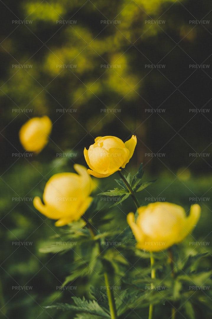 Globeflowers: Stock Photos