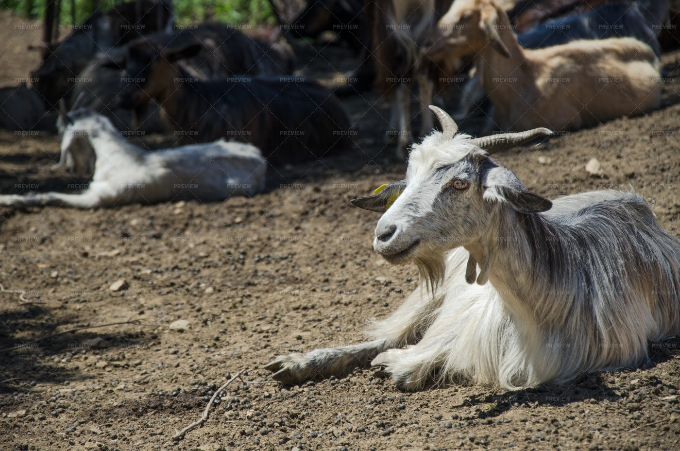 Portrait Of Goats: Stock Photos