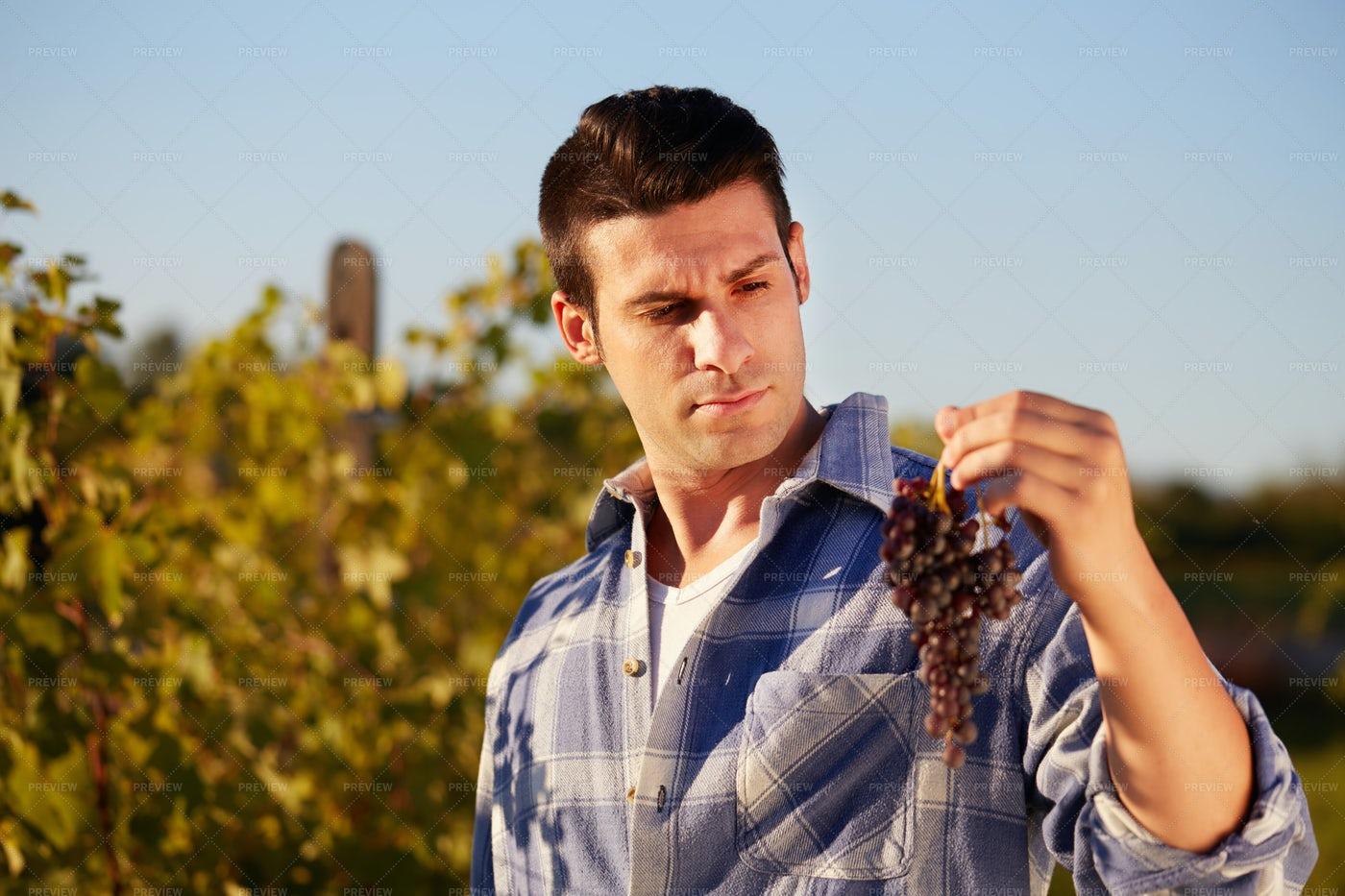 Man Harvests Grapes: Stock Photos