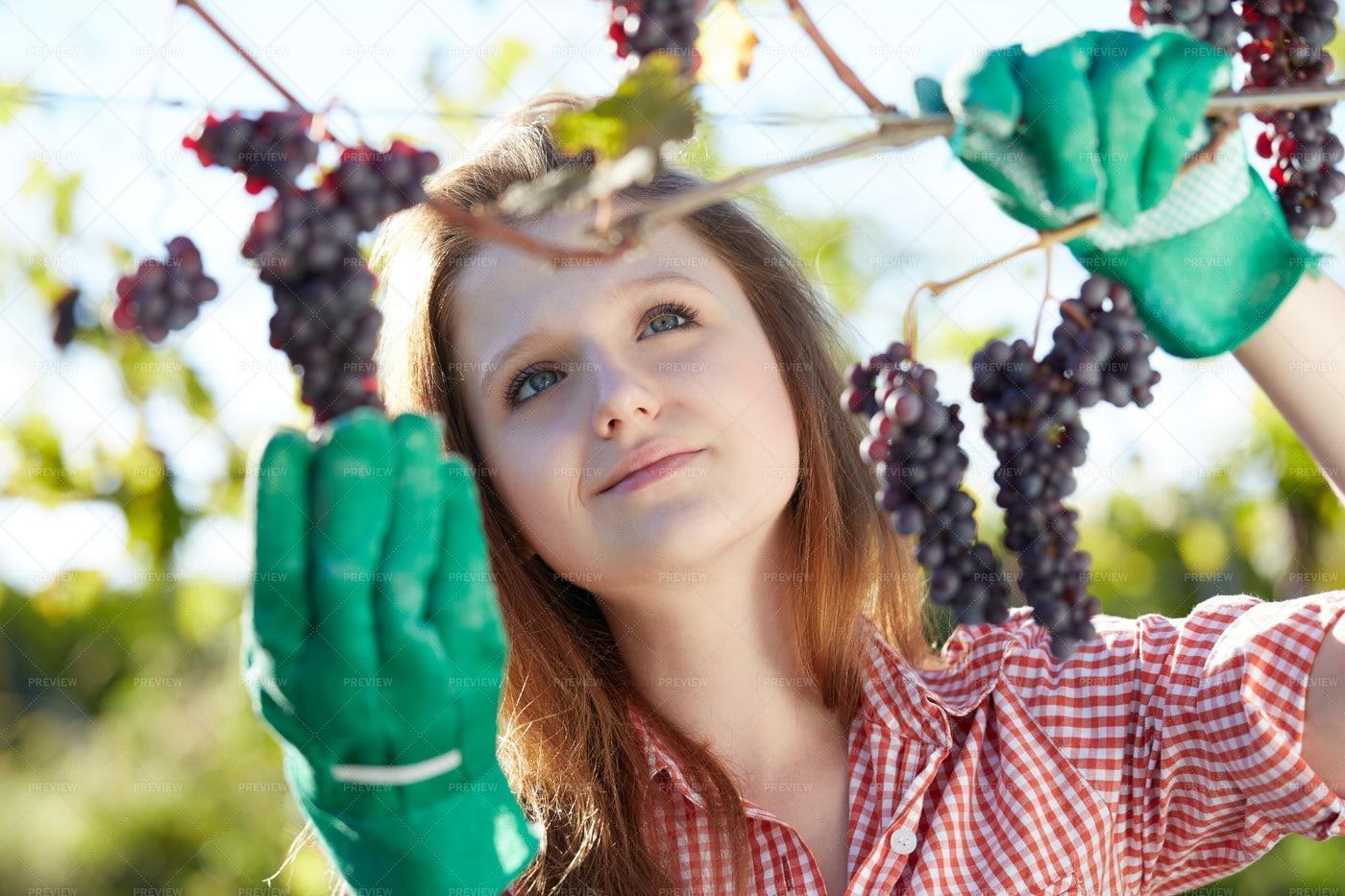 Red Grape Harvest: Stock Photos