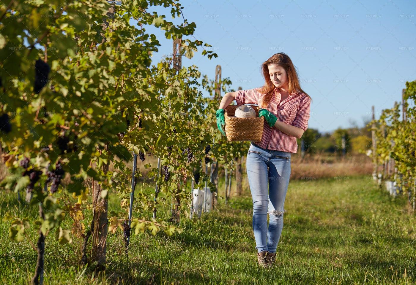 Grape Harvester With Basket: Stock Photos