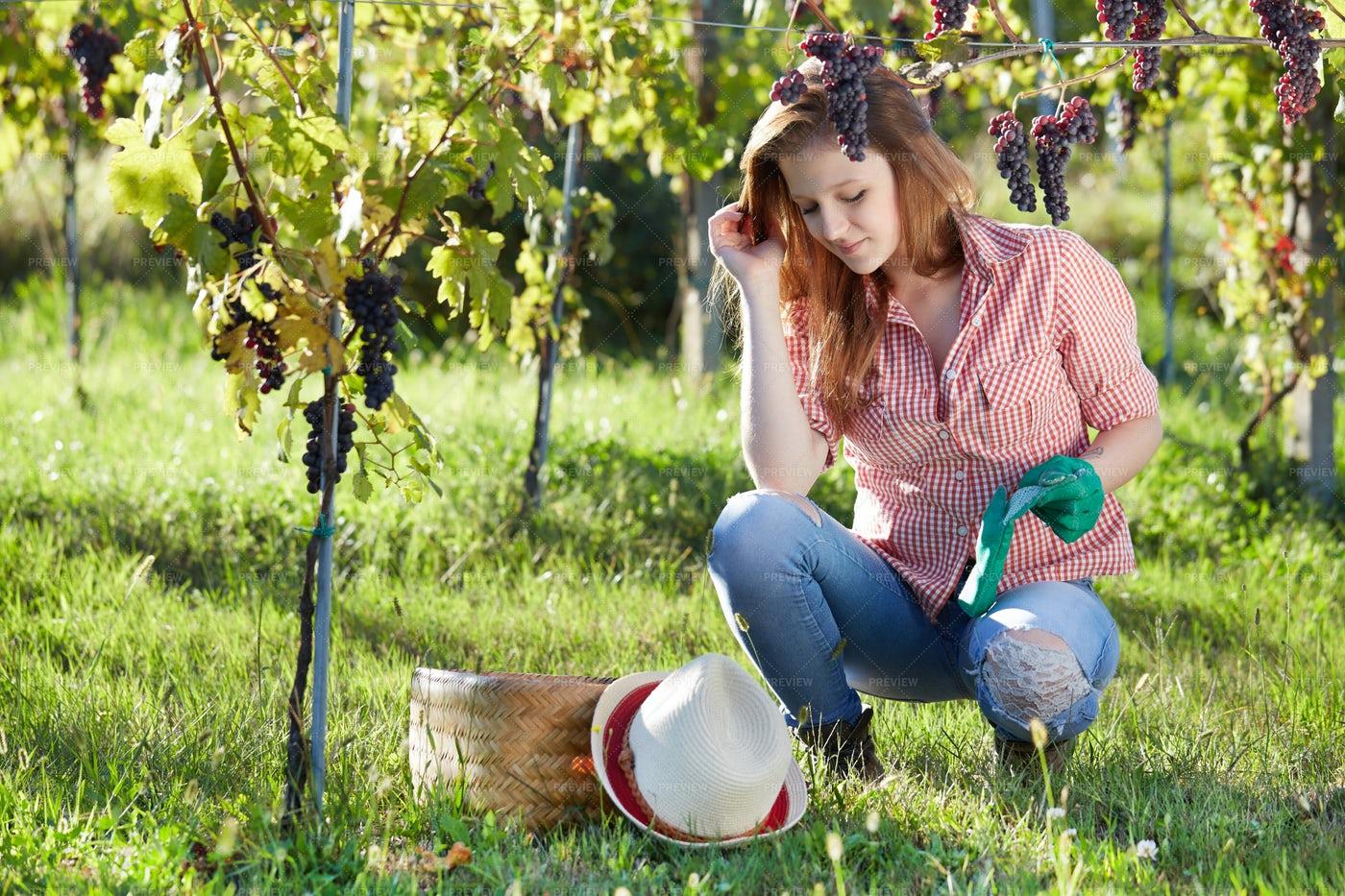 Woman Harvesting Grapes: Stock Photos