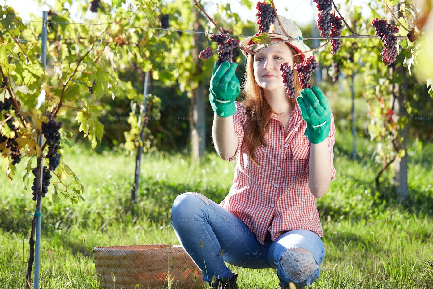 Picking The Grapes: Stock Photos