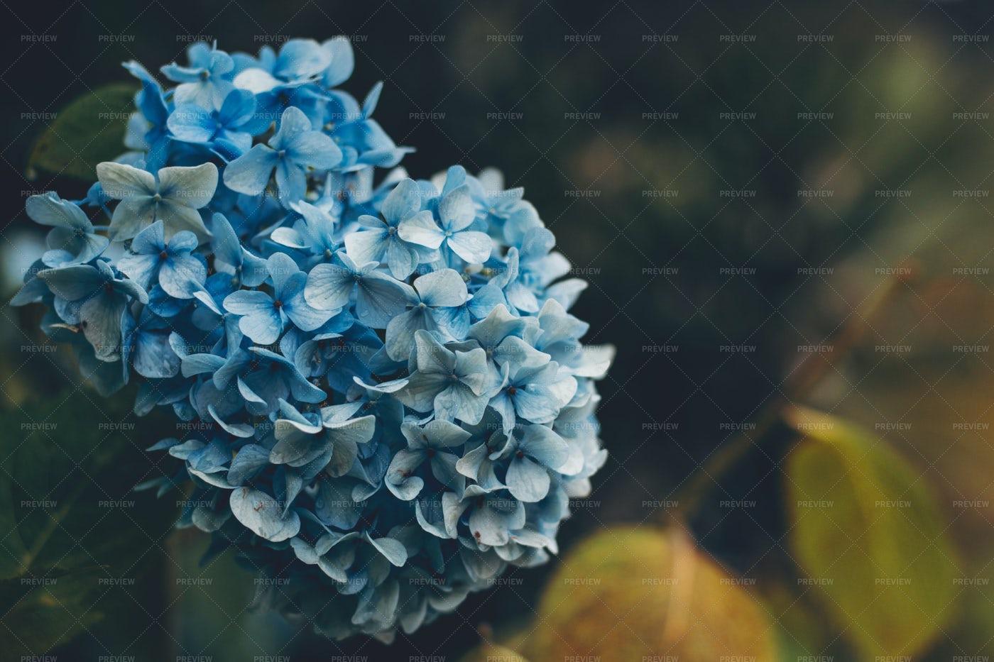 Blooming Blue Hydrangea: Stock Photos