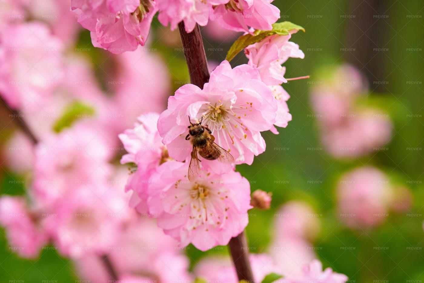 Bee On Spring Flowers: Stock Photos