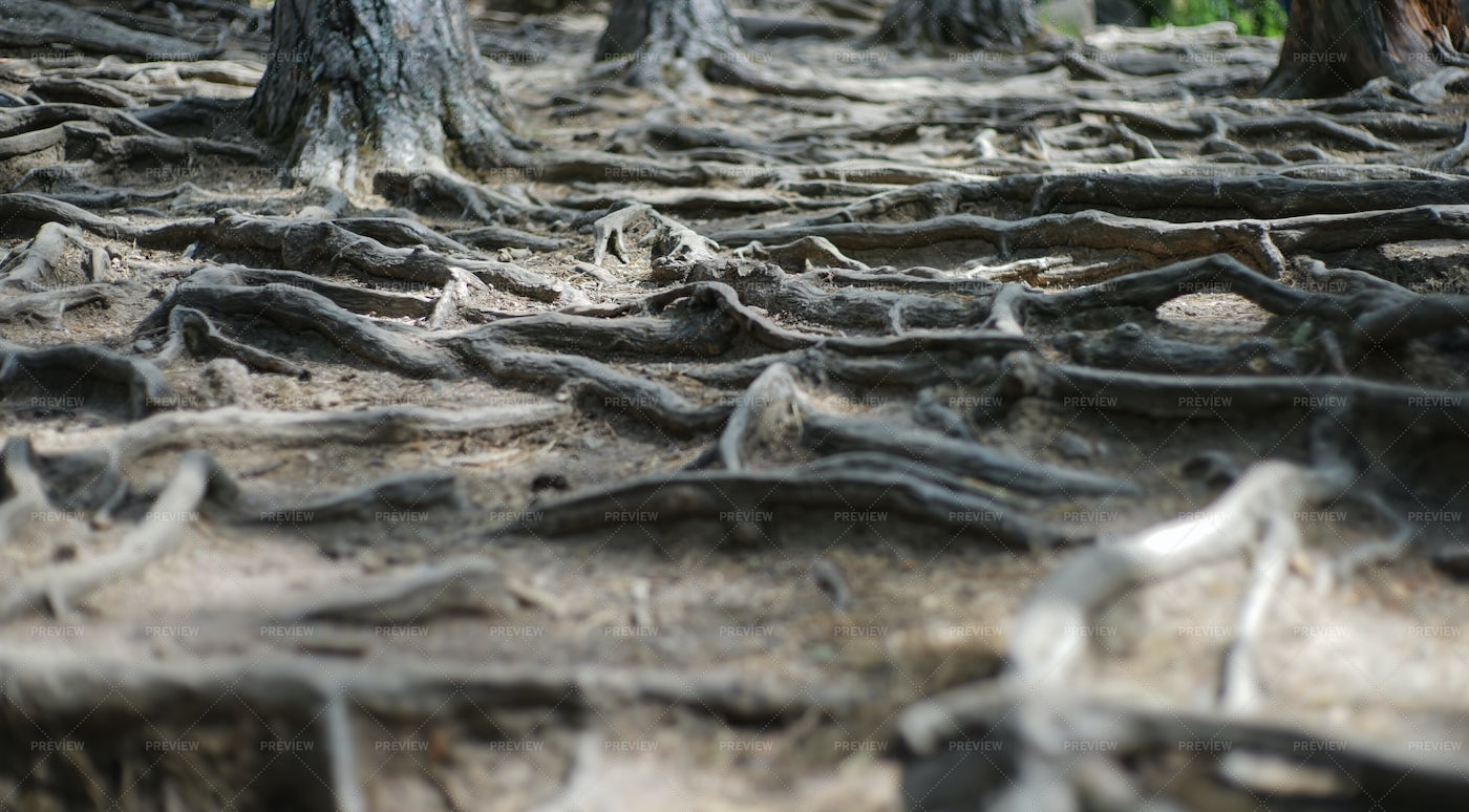 Roots On The Ground: Stock Photos