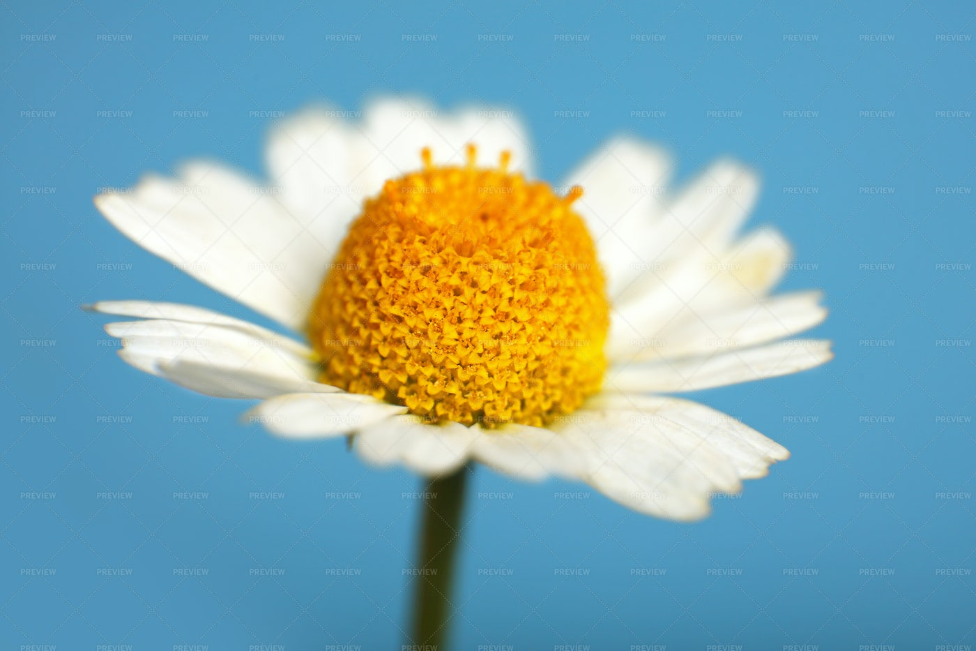 Close Up Of Chamomile Flower: Stock Photos