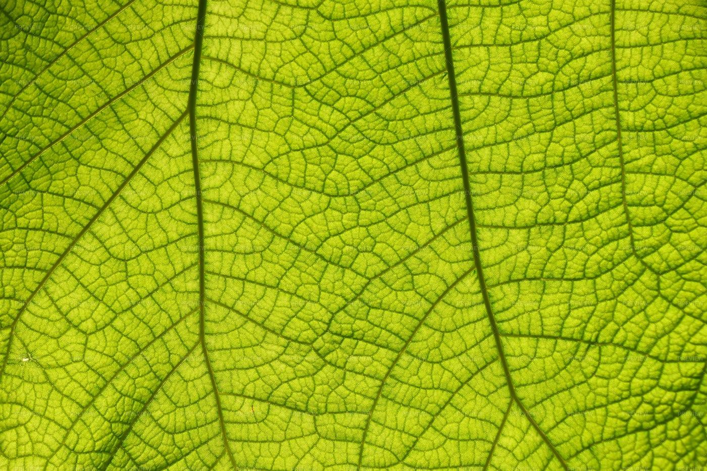 Veins Of A Leaf: Stock Photos