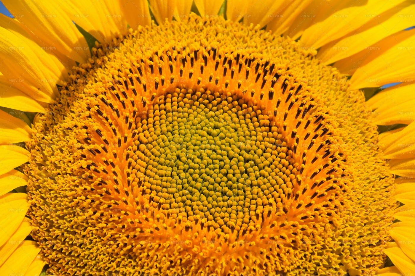Young Sunflower Close Up: Stock Photos